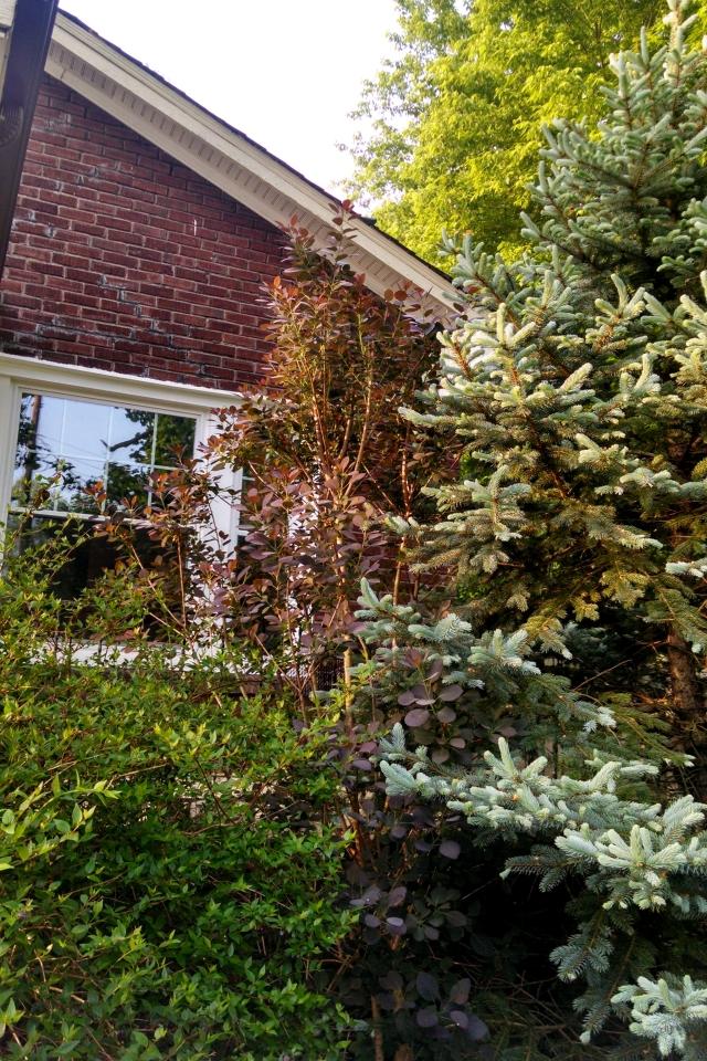 Smoke tree mid-May - NC Garden Gals