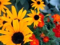 Black eyed susans and marigolds - NC Garden Gals