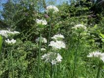 White allium - NC Garden Gals